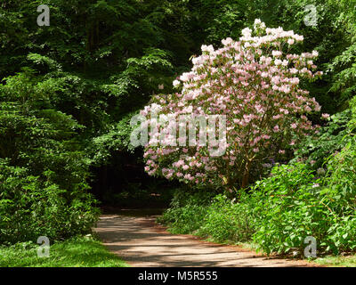Large pink Rhododendron bush highlighted by the sunlight agains dark green foliage of trees - Stock Image
