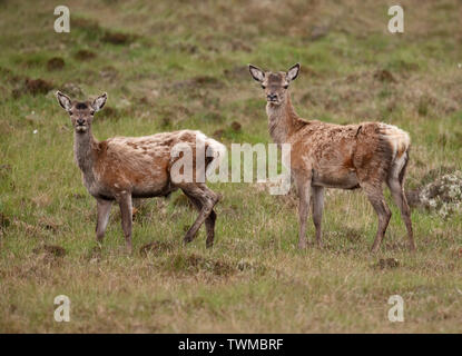 Pair of Red Deer hinds (Cervus elaphus) with summer coat on North Uist moorland, Outer Hebrides, Scotland - Stock Image