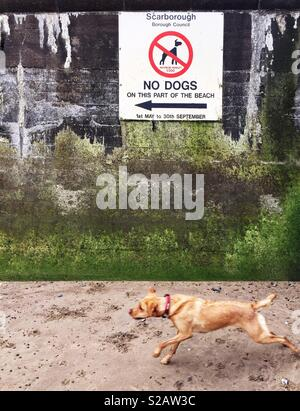 A Labrador retriever dog running towards a beach and a large sign saying No Dogs Allowed in a funny animal image - Stock Image