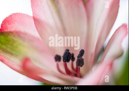 A closeup view of the stamen of the alstroemeria Peruvian Lily flower. - Stock Image