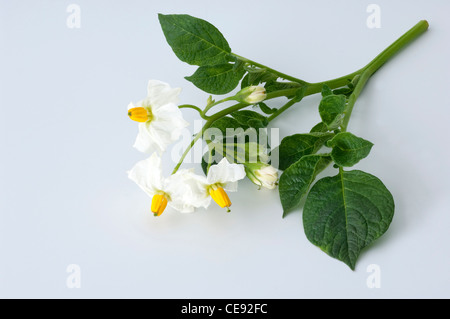 Potato (Solanum tuberosum Quarta). Flowering twig. Studio picture against a white background. - Stock Image