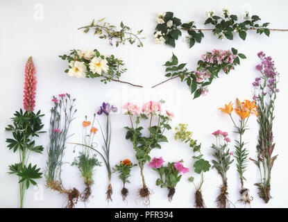 Stems of Sweet Rocket (Hesperis matronalis) with leaves and flowers - Stock Image