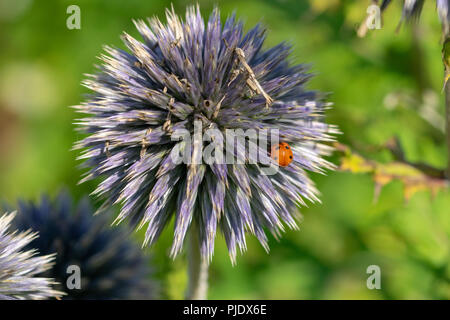 7 spotted ladybird (Coccinella septempunctata) hiding amongst the thistles of a purple globe flower - Stock Image