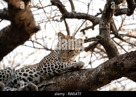Leopard Panthera pardus gazing down inquisitively from the forked branches of a large tree in Ndutu Tanzania, East Africa - Stock Image
