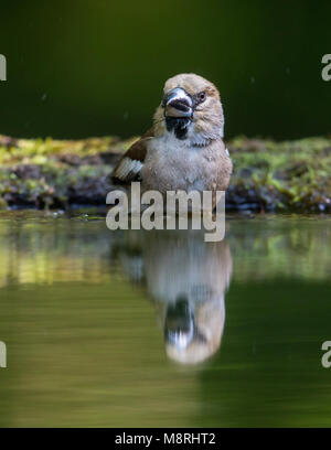 Female  Hawfinch (Coccothraustes coccothraustes)  beside a forest pool - Stock Image