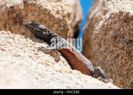 Chuckwalla lizard - Stock Image
