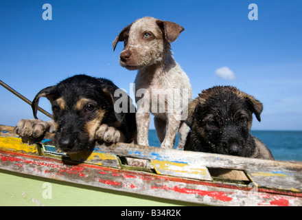 Three puppies on a boat at Buktot beach near Mansalay, Oriental Mindoro, Philippines. - Stock Image