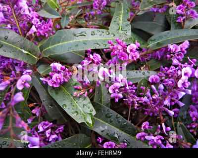 Flowering hardenberigia after a rainstorm. - Stock Image
