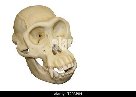 Male Chimpanzee Skull - Stock Image