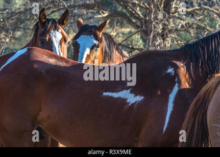 USA, California, Parkfield, V6 Ranch details of brown horses with white accents - Stock Image