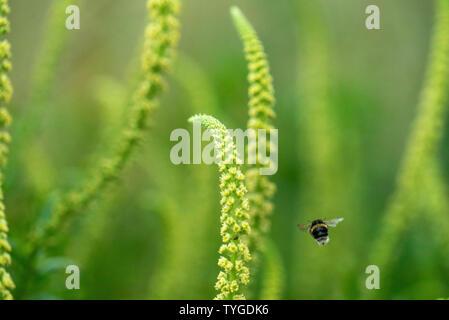 Flying Bumblebee in Wiltshire, UK - Stock Image
