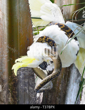 Australian Scrub Python (Simalia Kinghorni) coiled around a Sulphur-crested Cockatoo (Cacatua galerita), QLD, Queensland, Australia - Stock Image