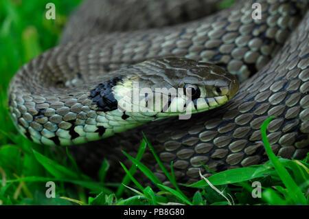 Grass snake (Natrix natrix) Dorset, UK May - Stock Image