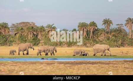 Family group of African elephants walking and browsing along the edge of a swamp and passing some hippos - Stock Image