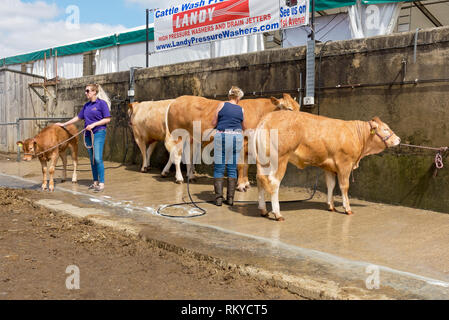 Cattle being washed before judging at the Great Yorkshire Show. - Stock Image