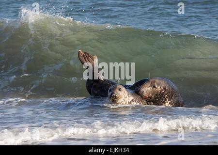 Grey Seal, Kegelrobbe, Halichoerus grypus, Helgoland, pair in the waves - Stock Image