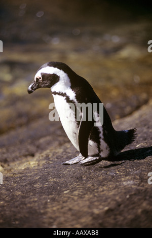 jackass penguin South Africa - Stock Image