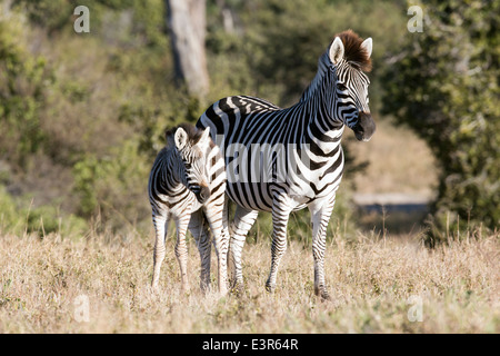 Close up of mare and foal, Equus burchelli common zebra or Burchell's zebra.  Standing together alert to a threat - Stock Image