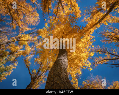 Low angle view of tall tree with colorful autumn foliage set against a clear blue sky in October. - Stock Image