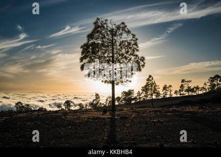 Backlit silhouette of Canarian pine tree in native pine forest of Tenerife growing on dark volcanic basaltic scoria - Stock Image