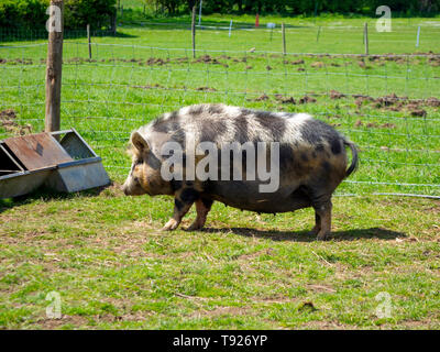 Large Gloucester Old Spot sow out in a field approaching her feed trough - Stock Image
