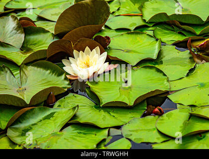 A beautiful soft pale pink water lily resting on the water surface. - Stock Image