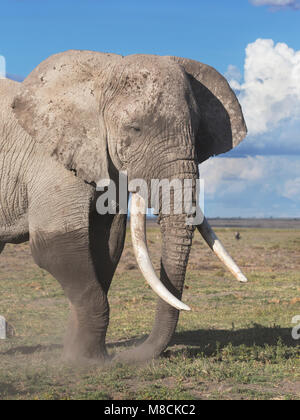 Close up of bull African elephant with large tusks digging soil to browse - Stock Image