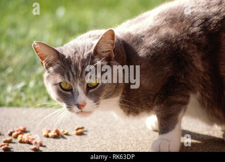 Gray and White short-haired house cat - Stock Image