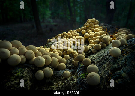 Many Mushrooms Growing On Log In Forest, Pennsylvania, USA - Stock Image