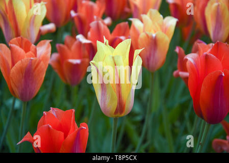 Tulips  bloom in the world´s largest flower garden Keukenhof - also known as the Garden of Europe (spring garden) in Netherlands, May 7, 2019. (CTK Ph - Stock Image