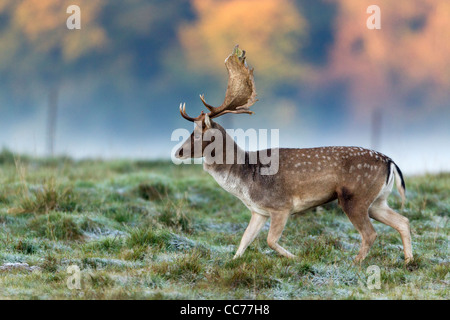 Fallow Deer (Dama dama), Buck during the Rut, Royal Deer Park, Klampenborg, Copenhagen, Sjaelland, Denmark - Stock Image