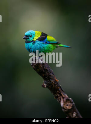 Green-headed Tanager (Tangara seledon) from the Atlantic Rainforest - Stock Image