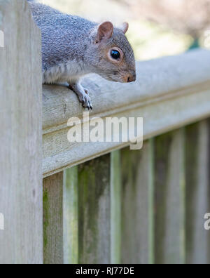 Grey Squirrel on fence Sciurus carolinesis  London UK - Stock Image