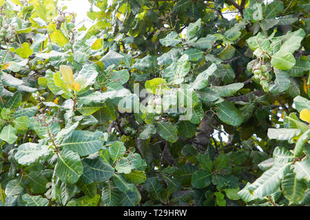 Cashew Nuts tree  in St Lucia, The Caribbean - Stock Image