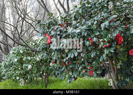 Japonica Dr J.C. Raulston - Camellia - February - Stock Image
