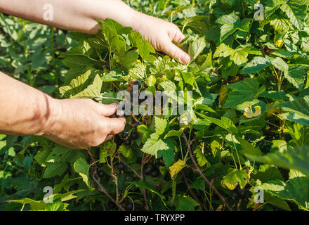 woman harvesting blueberries in her farm on sunny summer day - Stock Image