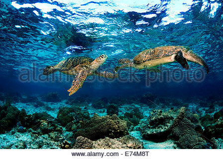 Two green seaturtles - Stock Image