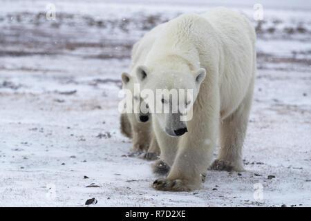 Bear family at the Hudson Bay (Canada) - Stock Image