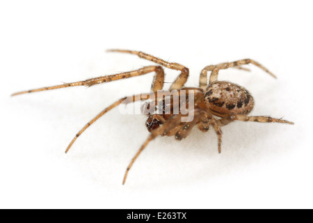 Male Tree sector spider (Stroemiellus stroemi), part of the family Araneidae - Orbweavers. Isolated on white background. - Stock Image