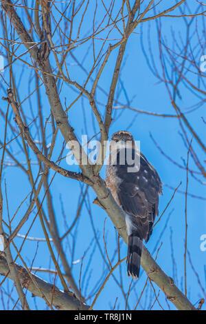 Sharp-shinned Hawk (Accipiter striatus) sitting in Plains Cottonwood tree, eyeing photographer. Castle Rock Colorado US. Photo taken in March. - Stock Image