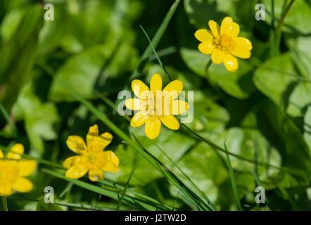 Lesser celandine flowers - Stock Image
