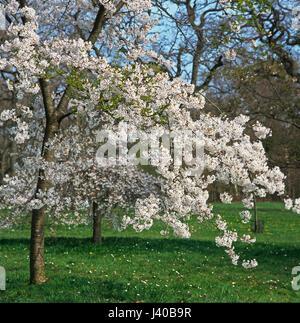 Flowering Cherry Prunus x Yedoensis Shidare Yoshino - Stock Image