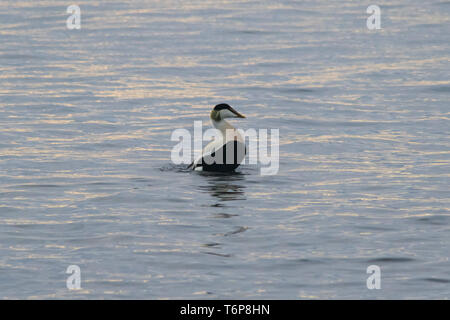 Mousehole, Cornwall, UK. 2nd May 2019. UK Weather.  Mild with calm seas this morning at Mousehole,  for this smart looking male Eider duck close into the shore at sunrise. Credit Simon Maycock / Alamy Live News. - Stock Image