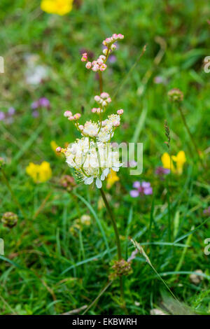 dropwort Filipendula vulgaris, Cressbrook Dale NNR Peak District National Park June 2014 - Stock Image