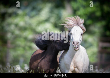 Falabella Miniature Horse. Black and amber champagne horse playing on a pasture. Switzerland - Stock Image