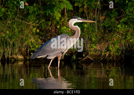 A great blue heron hunts for a meal along the shoreline at Lake Windsor in Bella Vista, Arkansas, U.S.A. - Stock Image