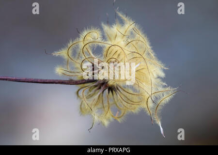 Feathery autumn seed head of the hardy, large flowered climber, Clematis 'H.F.Young' - Stock Image