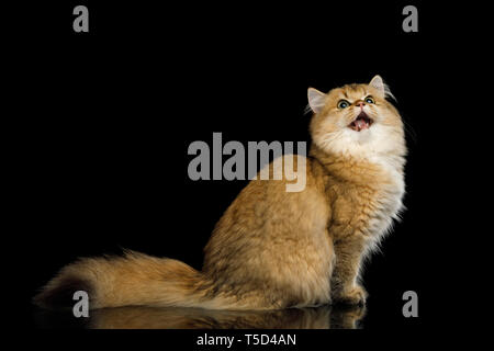 British Red Cat with Furry tail, Amazement Stare up and opened mouth on Isolated Black Background, side view - Stock Image