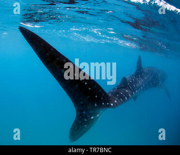 Whale Shark from Rear, Swiming Away Right Beneath the Suface. Tofo, Mozambique - Stock Image