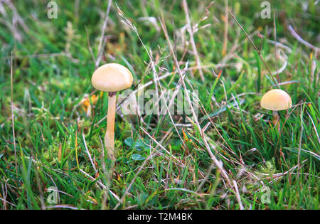 A pair of dung roundhead mushrooms (Protostropharia semiglobata) growing in a grassy field used for sheep grazing in Shropshire, England. - Stock Image